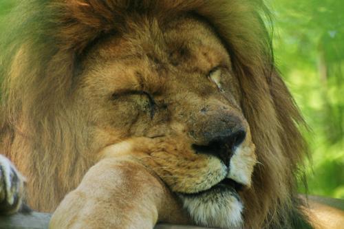 Manger du lion